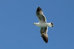 Sea gull in flight (3)