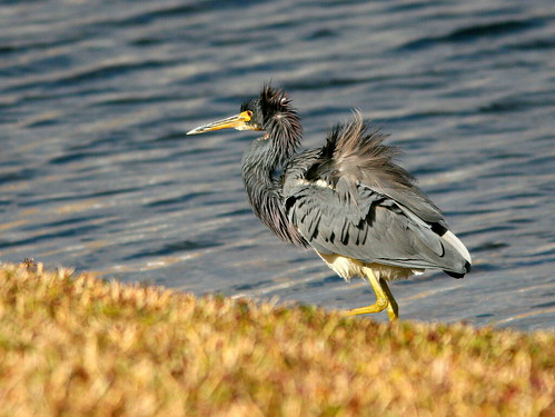 Tricolored Heron in following breeze 20101225