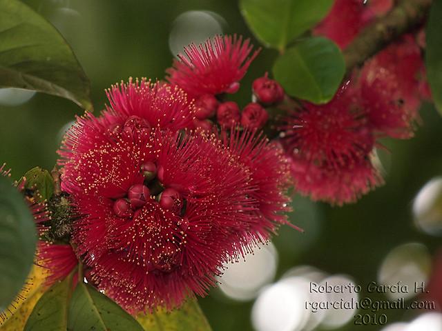 "Flor de la ""Manzana de Agua""   Flickr - Photo Sharing!"