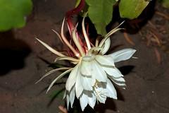 flower, leaf, plant, macro photography, flora, epiphyllum oxypetalum, petal,