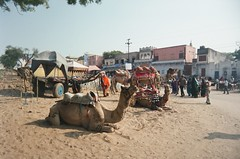Pushkar camels 01