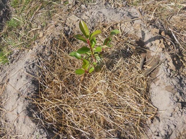 Planta con acolchado