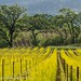 Mustard, Vines and Trees by dschultz742