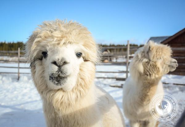 15 Ways Yllas, Finland Surprised and Enchanted Us - Llamas in Yllas Finland