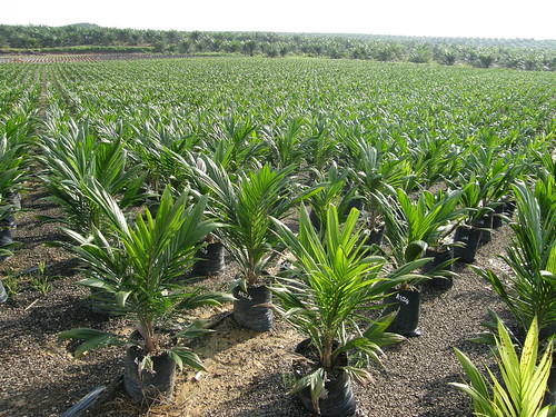 Oil palm: nursery