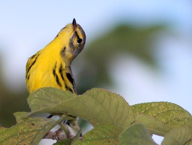 Prairie Warbler 4-20110204