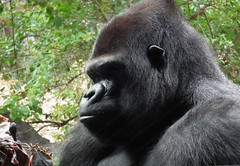 Gorilla - The Brother of King Kong
