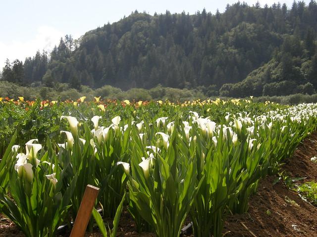 white calla lily wedding bouquet