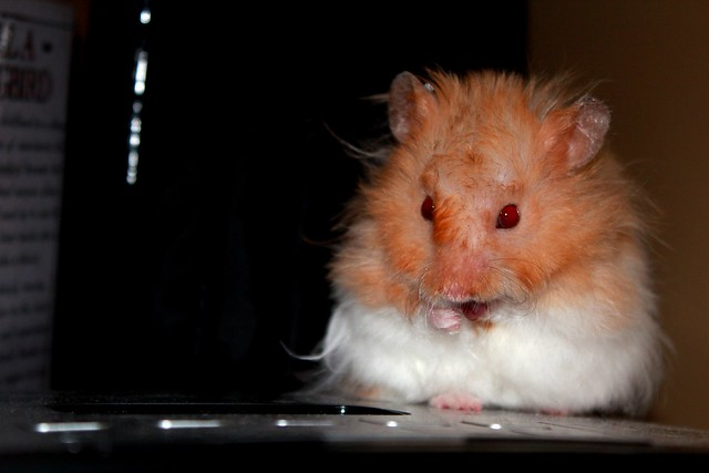 long-haired teddy bear hamster | Flickr - Photo Sharing!