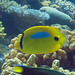 Blueblotch butterflyfish - Okinawa, Japan