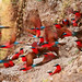 Carmine Bee-eaters (Bret Charman)