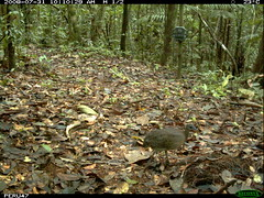 White-throated Tinamou