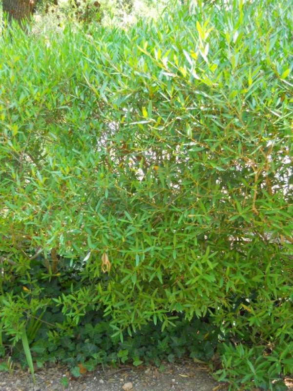 Phillyrea angustifolia v 3