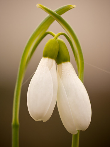 Snowdrops in love