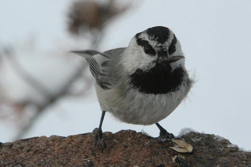"birds junco flock birdfeeder ""mountain ""stanley ""redwinged blackbird"" chickadee"" idaho""snowwinter""mtmcgowen""""pinetrees""osierdogbirdsfooddinnerlunchbreakfastdrivingboise""saltlakecity""airportjfk""controltower""""aerialview""""deltaairline""""valleycreek""""stanleycreek""""logcabin""sunrisesunsetmountains"