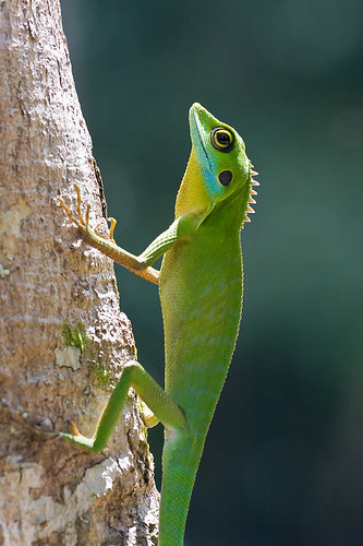 Adult Green crested lizard, <i>Bronchocela cristatella. </i>IMG_7440 copy