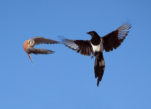 Kestrel VS Magpie