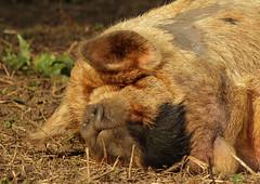 animal, wild boar, pig, snout, mammal, fauna, close-up, wildlife,