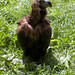 Small photo of Cinereous Vulture (Aegypius monachus)