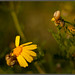 Comida rápida...  (theba pisana sobre chrysanthemum coronarium)
