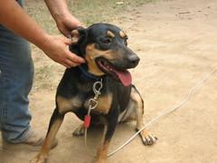 dog breed, animal, dog, dobermann, pet, guard dog, miniature pinscher, pinscher, carnivoran,