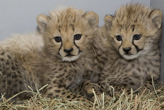 Smithsonian's National Zoo's Cheetah Cubs are Thriving