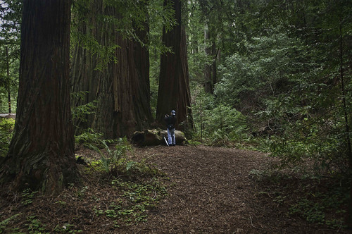 Redwoods at Heritage Grove: A Lesson For Humanity