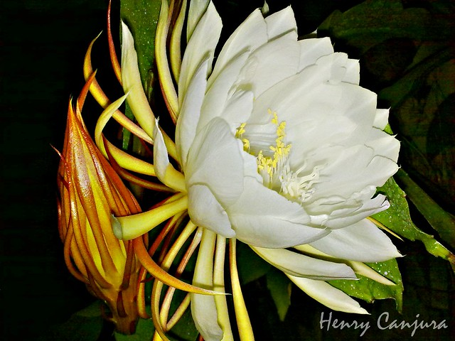 Galan de noche flower flickr photo sharing - Galan de noche electrico ...