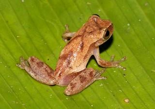 Red-striped Treefrog (Hyla rhodopepla)