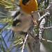 198 Olive Warbler