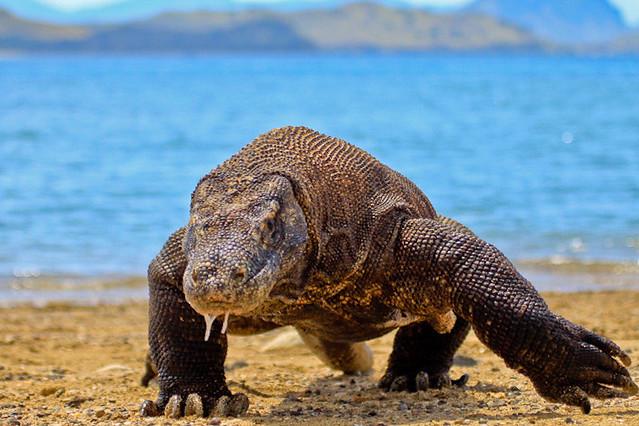 Dragón de Komodo en el Parque nacional de Komodo. Islas de Indonesia central