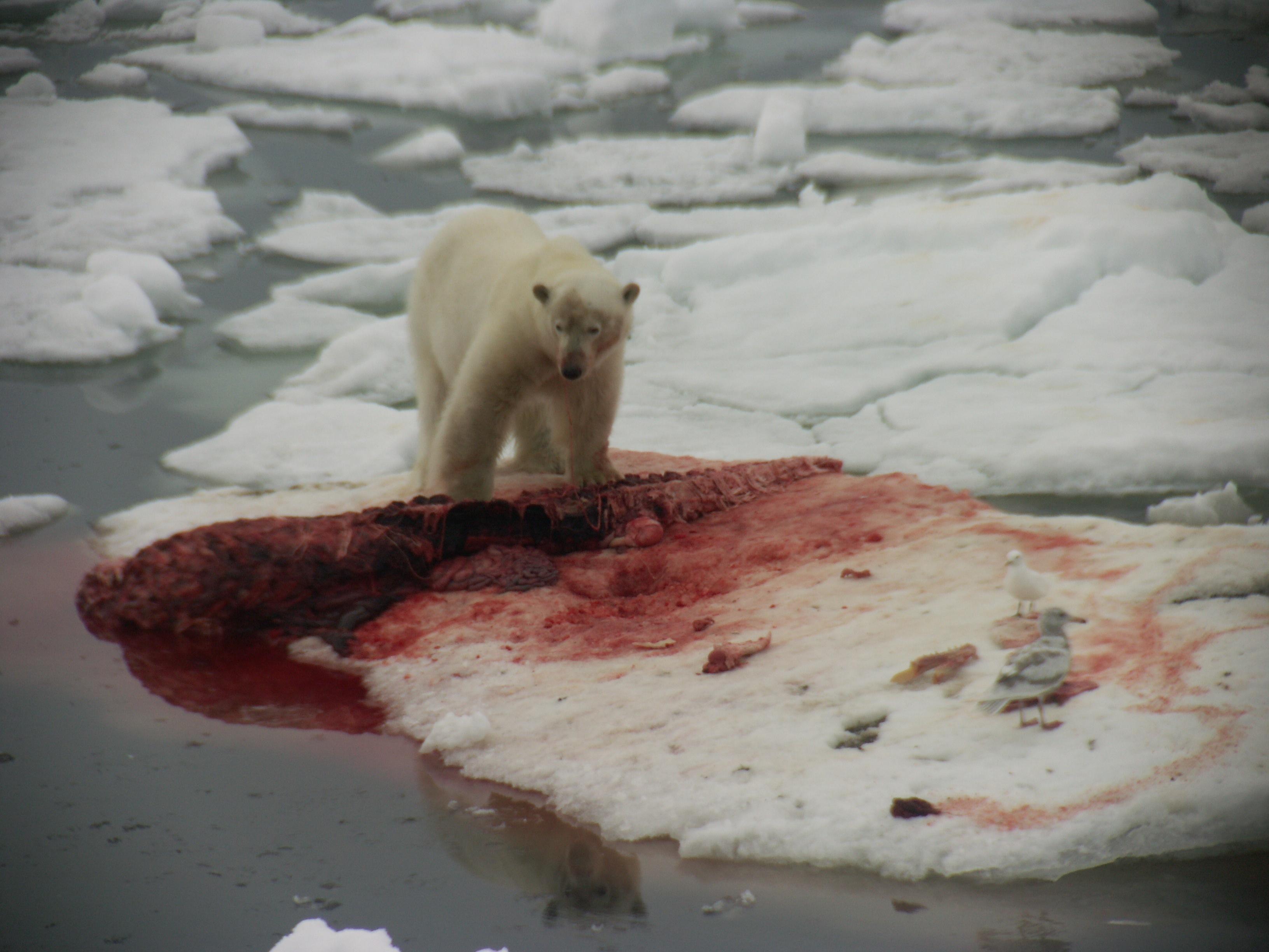 polar bear eating penguin wwwimgkidcom the image kid