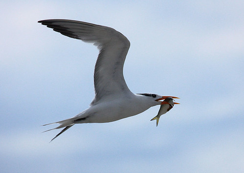 Royal Tern as fisherman