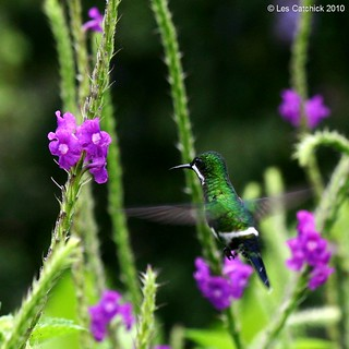 Green thorntail hummingbird (Discosura conversii) - Female ♀