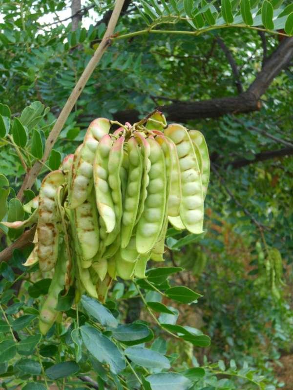 Caesalphinia spinosa v 3
