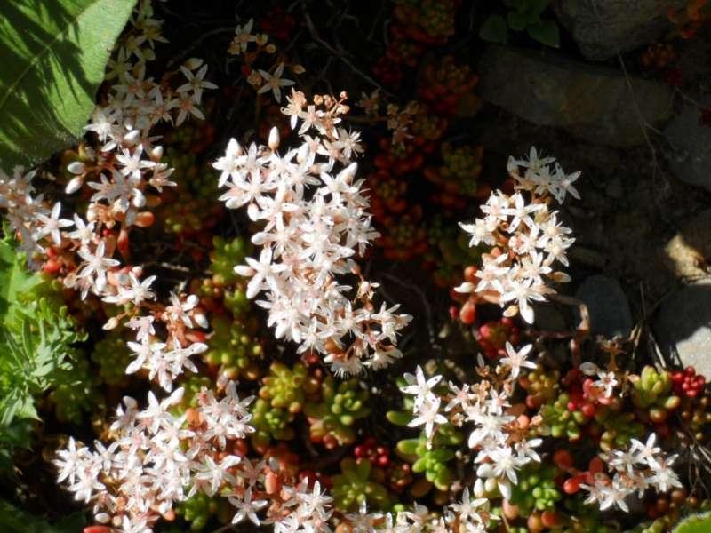 Sedum dasyphyllum 2
