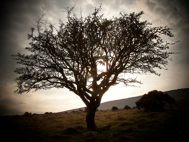 Dartmoor Thorn Tree Explored Flickr Photo Sharing