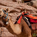Camel Ride Anyone? Petra, Jordan