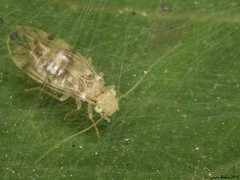 follicole False Lizard Barkllouse (Psocoptera: Pseudocaeciliidae) within its net