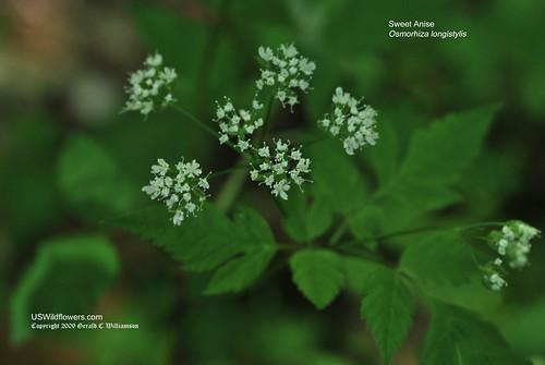 Longstyle Sweetroot, Sweet Anise, Aniseroot - Osmorhiza longistylis