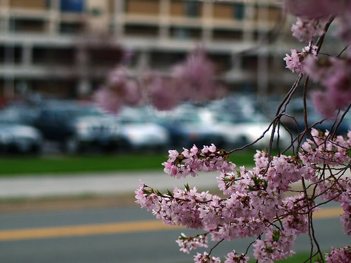 flowers copyright tree spring parkinglot branch allrightsreserved shallowdof legacylens ommicro43adapter omgzuiko50mm114 ©daveelmore