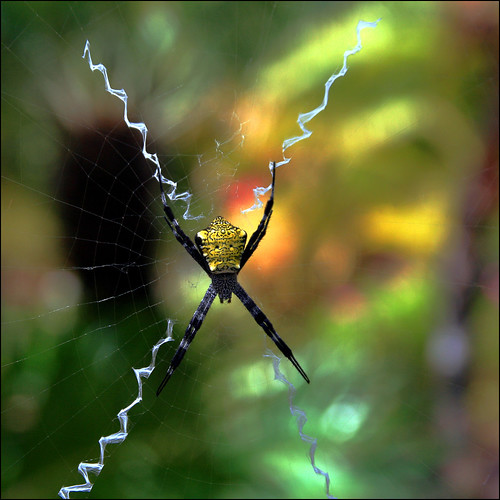 sunlight color macro nature fauna spider bokeh web araña shining xmarksthespot telaraña argiopeaurantia coth kauaihawaii allertongardens hbw physis cornspider bokehwednesday beyondbokeh coth5 1crzqbn