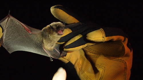 Throughout the summer, wildlife biologists conduct nighttime surveys to learn more about the many bats that live in the Coconino National Forest. Scientists gather information about species, population, and habitat. This bat from the genus Myotis is having its wing examined. Credit: USDA Forest Service, Coconino National Forest