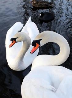 Swan-Soul....