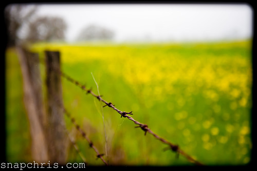 Barbed wire keeping the mustard fields safe