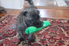dog breed, animal, dog, schnoodle, pet, schnauzer, morkie, cairn terrier, miniature schnauzer, carnivoran, terrier,