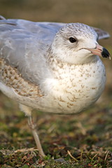 Brown and Gray Gull1