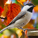 Carolina Chickadee - Photo (c) Dan Pancamo, some rights reserved (CC BY-SA)