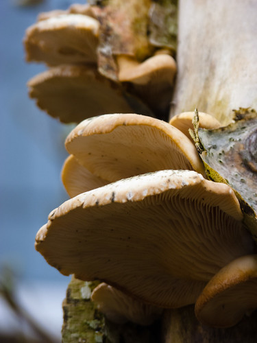 Oyster fungus growing on a birch stump