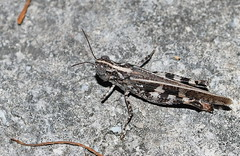 moth(0.0), arthropod(1.0), locust(1.0), animal(1.0), cricket(1.0), wing(1.0), invertebrate(1.0), insect(1.0), macro photography(1.0), grasshopper(1.0), fauna(1.0), close-up(1.0),